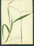 Poaceae - Paspalum conjugatum