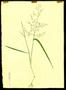 Poaceae - Eragrostis pectinacea