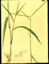 Poaceae - Paspalum notatum