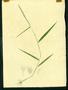 Poaceae - Eragrostis ciliaris