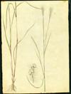 Poaceae - Andropogon leucostachyus