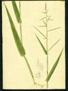 Poaceae - Panicum pilosum