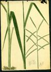Poaceae - Paspalum sp.