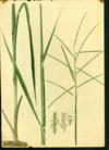 Poaceae - Paspalum laxum