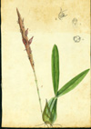 Orchidaceae - Bulbophyllum pachyrhachis