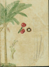 Arecaceae - Aiphanes acanthophylla