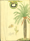 Arecaceae - Acrocomia media