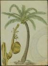 Arecaceae - Cocos nucifera