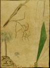 Arecaceae - Coccothrinax alta