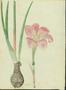 Liliaceae - Zephyranthes grandiflora
