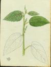 Euphorbiaceae - Acalypha portoricensis
