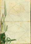 Moraceae (cecropiaceae) - Cecropia schreberiana