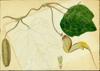 Aristolochiaceae - Aristolochia trilobata