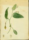 Aristolochiaceae - Aristolochia oblongata subsp. calceiformis