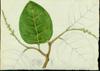 Polygonaceae - Coccoloba pallida