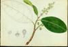 Polygonaceae - Coccoloba diversifolia