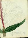 Polygonaceae - Coccoloba rugosa