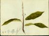 Polygonaceae - Coccoloba venosa