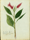 Amaranthaceae - Amaranthus cruentus