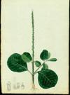 Amaranthaceae - Achyranthes aspera