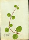 Amaranthaceae - Alternanthera crucis