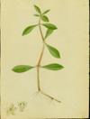 Amaranthaceae - Alternanthera sessilis