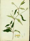 Amaranthaceae - Alternanthera brasiliana
