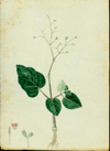 Nyctaginaceae - Boerhavia diffusa
