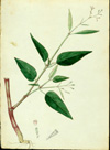 Nyctaginaceae - Boerhavia erecta