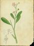 Portulacaceae - Talinum fruticosum