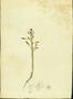 Portulacaceae - Portulaca pilosa