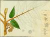 Brunelliaceae - Brunellia comocladifolia