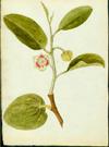 Annonaceae - Annona glabra