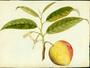 Annonaceae - Annona reticulata