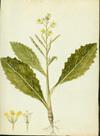 Brassicaceae - Brassica willdenowii