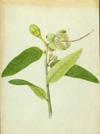 Capparidaceae - Capparis flexuosa