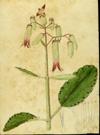 Crassulaceae - Bryophyllum pinnatum