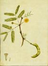 Fabaceae - Acacia farnesiana