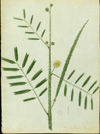 Fabaceae - Mimosa quadrivalvis var. urbaniana