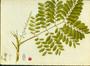 Fabaceae - Adenanthera pavonina