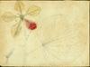 Fabaceae - Bauhinia monandra