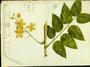 Fabaceae - Cassia fistula