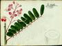 Fabaceae - Cassia grandis
