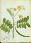 Fabaceae - Cassia pendula