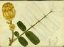 Fabaceae - Senna alata