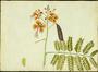 Fabaceae - Caesalpinia pulcherrima