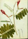 Fabaceae - Barbieria pinnata
