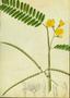 Fabaceae - Sesbania sesban