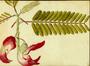 Fabaceae - Sesbania grandiflora
