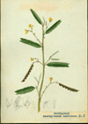 Fabaceae - Aeschynomene americana